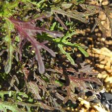 Mustard Seeds, Agano