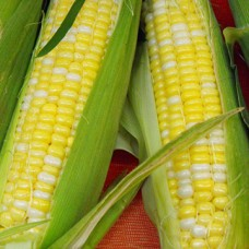 Sweet Corn Seeds, Ambrosia F1 Hybrid