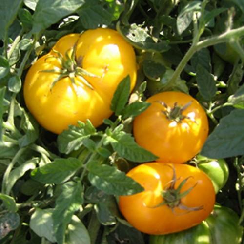 Tomato Seeds, Azoychka