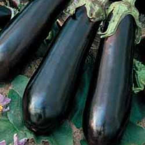 Eggplant Seeds, Baluroi F1 Hybrid