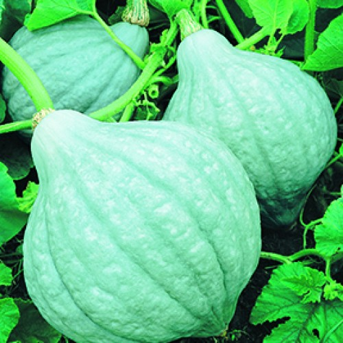 Squash Seeds, Blue Magic F1 Hybrid