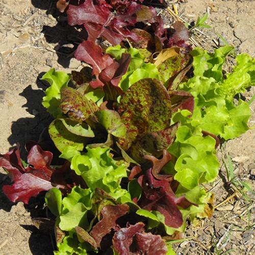 Lettuce Seeds, Bon Vivant Premium Blend