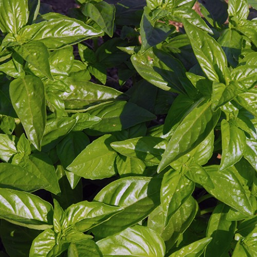 Basil Seeds, Bonazza (Genovese)