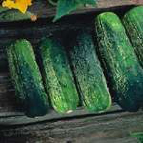 Cucumber Seeds, Calypso F1 Hybrid