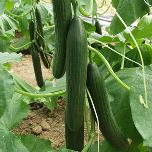 Cucumber Seeds, Camilla F1 Hybrid