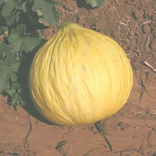 Melon Seeds, Golden Beauty Casaba