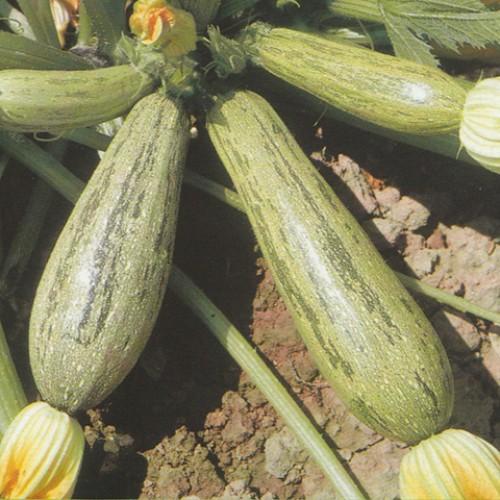 Zucchini Seeds, Caserta