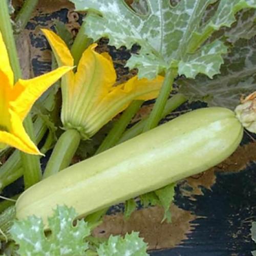 Zucchini Seeds, Cavilli F1 Hybrid