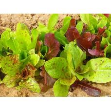 Romaine Lettuce Seeds, Centurion Mix