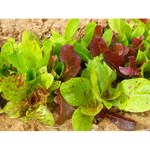 Romaine Lettuce Seeds, Centurion Mix