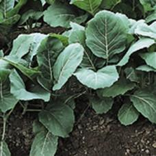 Collard Greens Seeds, Champion