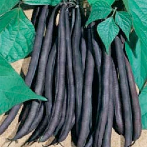 Pole Bean Seeds, Cosse Violetto sans Fil