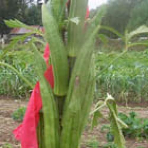 Okra Seeds, Cow Horn ORGANIC