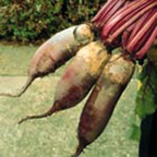 Beet Seeds, Cylindra