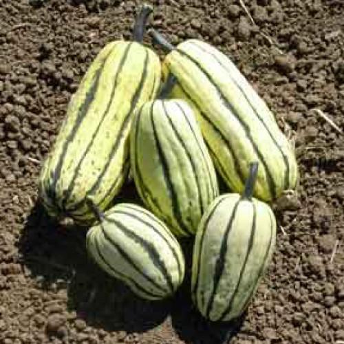 Squash Seeds, Delicata