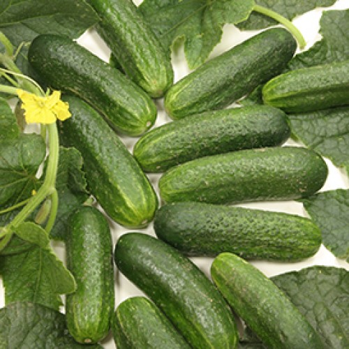Cucumber Seeds, Diamant F1 Hybrid