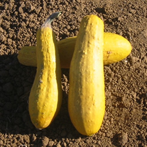 Squash Seeds, Early Prolific Straightneck