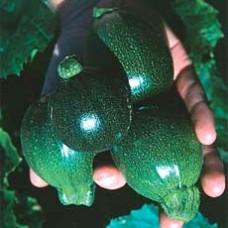 Zucchini Seeds, Eight Ball F1 Hybrid
