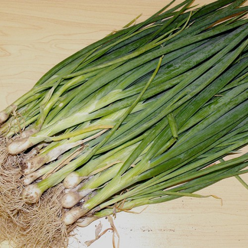 Spring Onion Seeds, Evergreen ORGANIC