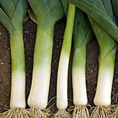 Leek Seeds, Blaugruner Farinto ORGANIC