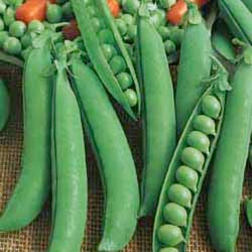 Bush Pea Seeds, Marvel Of Italy (Feltham First)