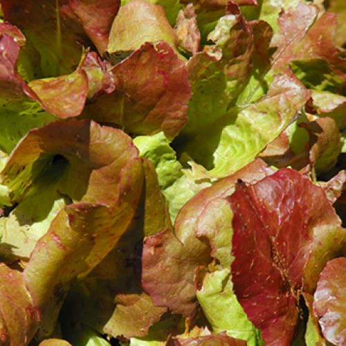 Lettuce Seeds, Flame ORGANIC