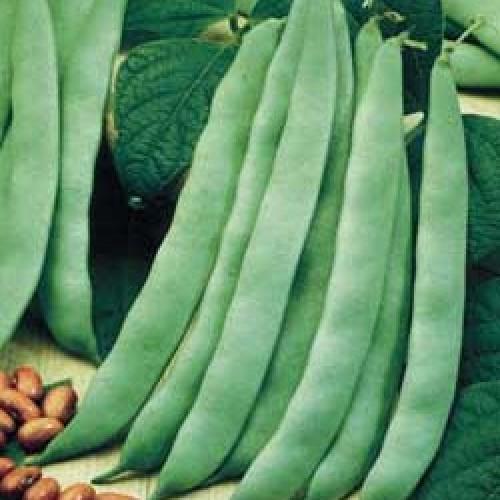 Bush Bean Seeds, Garrafal Enana