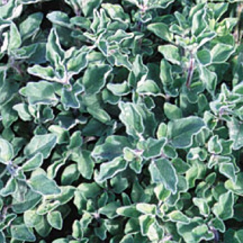 Oregano Seeds, Greek