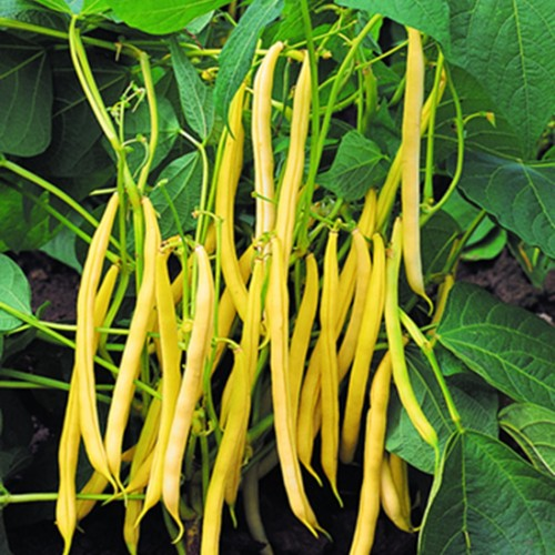 Bush Bean Seeds, Hildora