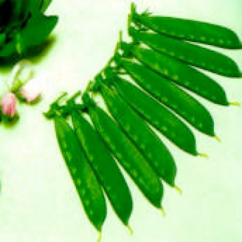 Sugar Pod Pea Seeds, Ho Lan Dow