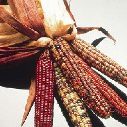 Ornamental Corn Seeds, Premium Dakota Blend