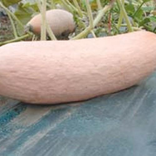 Squash Seeds, Jumbo Pink Banana