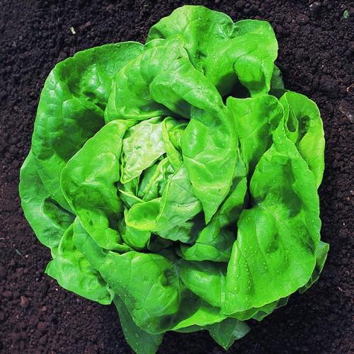 Lettuce Seeds, Larissa