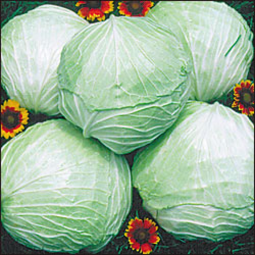 Cabbage Seeds, Premium Late Flat Dutch