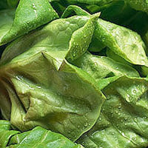 Lettuce Seeds, Bibb