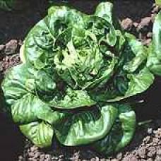Romaine Lettuce Seeds, Little Gem