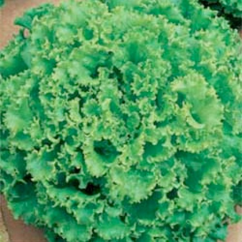 Lettuce Seeds, Lollo Bionda