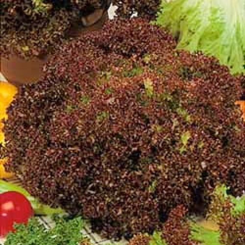 Lettuce Seeds, Lollo Rossa
