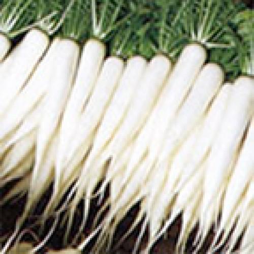 Radish Seeds, Mino Early (daikon)