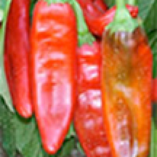 Pepper Seeds, New Mexico 6-4