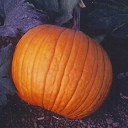 Pumpkin Seeds, Old Zebs