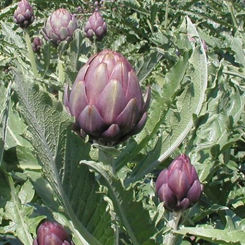 Artichoke Seeds, Opera F1 Hybrid