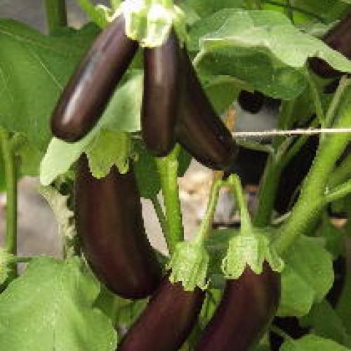 Eggplant Seeds, Orlando F1 Hybrid Mini