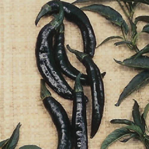 Pepper Seeds, Pasilla Bajio