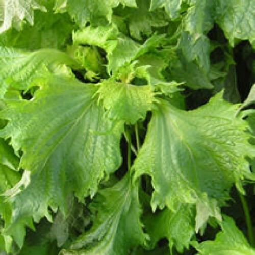 Perilla Seeds, Green (Qing Su, Ao Shiso)