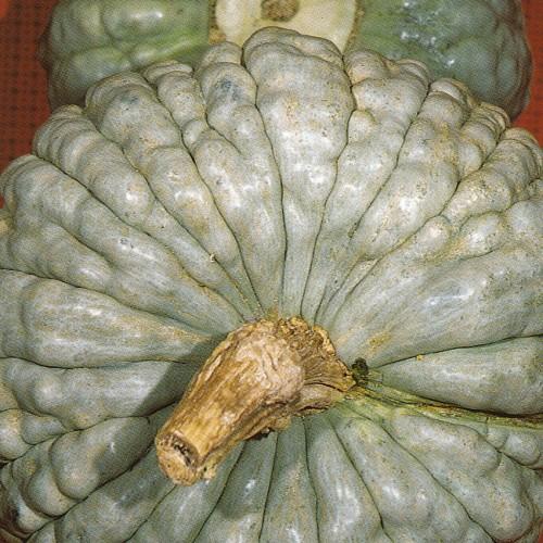 Pumpkin Seeds, Piacentina