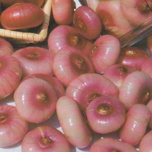 Cipollini Onion Seeds, Piatta di Bergamo