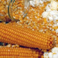 Popcorn Seeds, Italian Yellow Popcorn