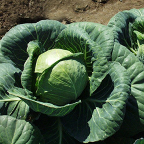 Cabbage Seeds, Premier ORGANIC