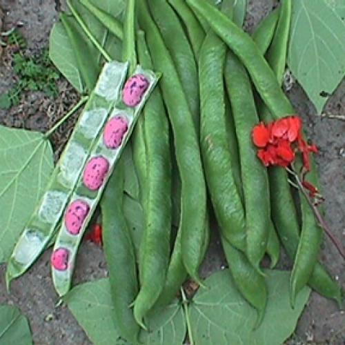 Runner Bean Seeds, Prizewinner